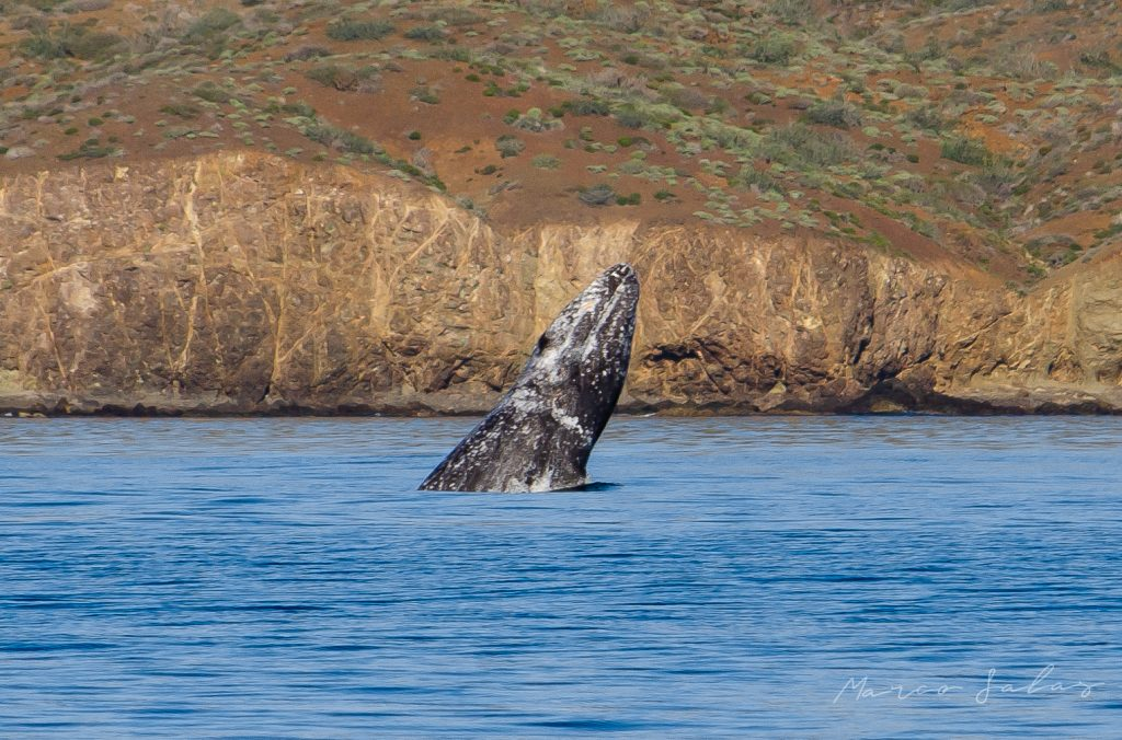 whale in the sea of cortes mexico baja california